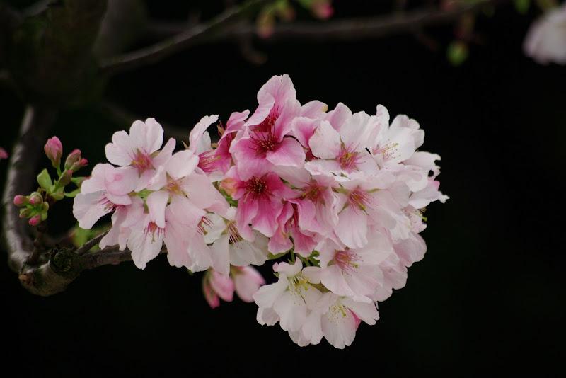 20100304淡水天元宮之吉野櫻[阿尼其首發]