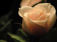 rosas (9)