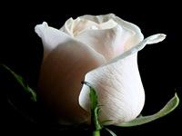 rosas (15)