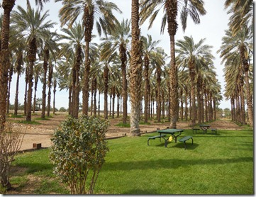 Grove of date palms at Sun Garden Growers, Yuma, Az.