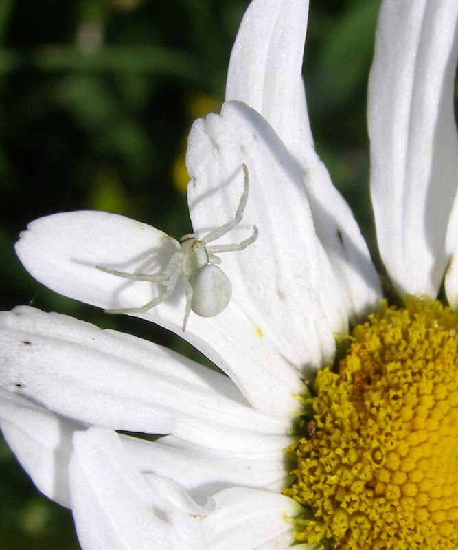 White spider life and opinions life and opinions a white crab spider probably a female misumena vatia these spiders hide on flowers here an ox eye daisy leucanthemum vulgare in order to ambush mightylinksfo