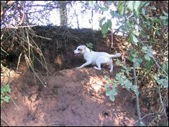 Benji hunting