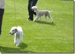 dog_show_northumberland_002