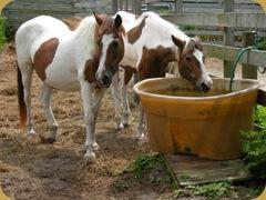 wild_ponies