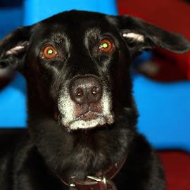 Cutie face by April Grunwald - Animals - Dogs Portraits ( labrador retriever, brown eyes, black dog, ears, gray, labrador, dog )