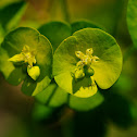 Wood spurge, lechetrezna