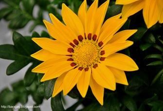 blommagul