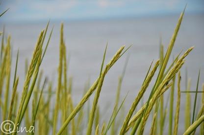 gräss
