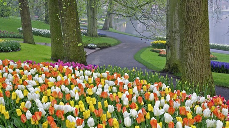 Tulip bed and trees in morning mist, Kuekenhof Gardens, Netherlands