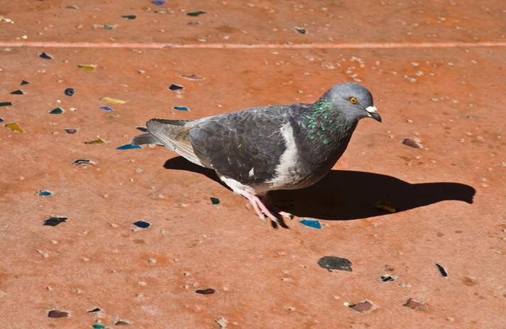 DSC_0010 our rainbow pigeon waiting for us outside the wildflower bakery door en az.jpg