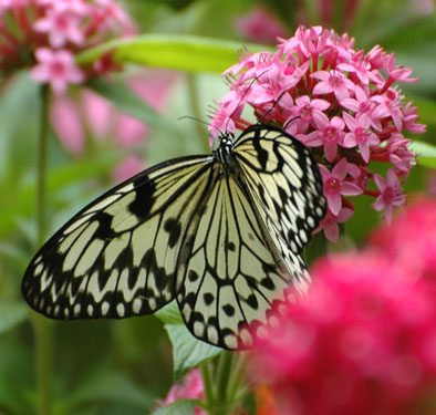 DSC_7910--black and white lacy butterfly on pink flowers en ca.jpg