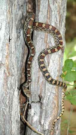 DSC_0565--gopher snake on willow tree on our porch en az.jpg
