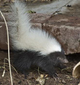 DSC_8055 baby skunk eating mulberries by hogan and greenhouse en az.jpg
