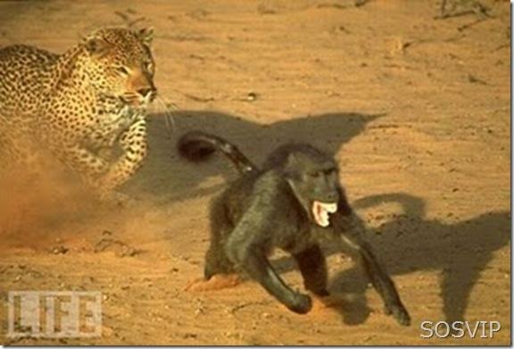 macaco fuga