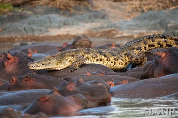 [hippo-attacked-the-crocodile Crocodilo atacado Hipopótamo.jpg (4)[6].jpg]