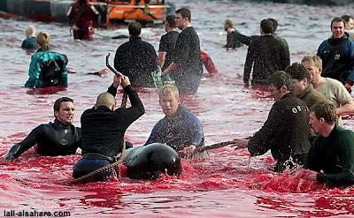 丹麥斐羅島的血紅慶典