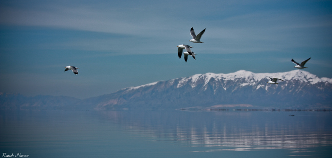 Birds -Antelope Island scenic pictures
