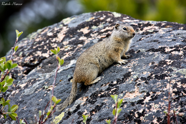Squirrel-at-yellowstone-national-park