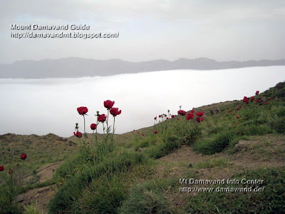 Haraz poppy fields, Photo by Ardeshir Soltani