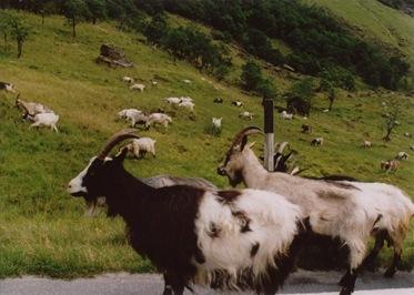 geiter i veien