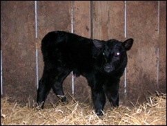calf 1F01-3