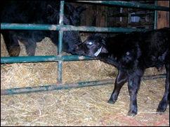 calf 1F01-4