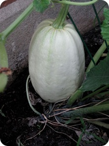 hugesquash