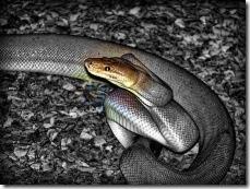 snake ready to strike-1