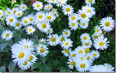daisies outside