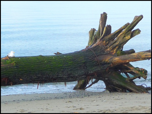 Old log with seagull