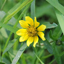 Bur marigold, Bearded beggarticks, Tickseed sunflowe