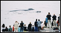 hermanus_whalewatching