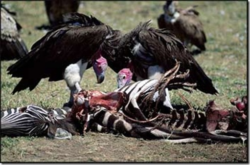 African vultures hard at work cleaning up the environment