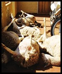 Griekwastad sheep die of fright during livestock rustling July 31 2010 NC