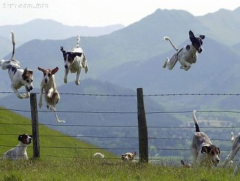 一群比跳高中的狗