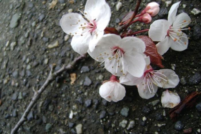 fiori-ciliegio