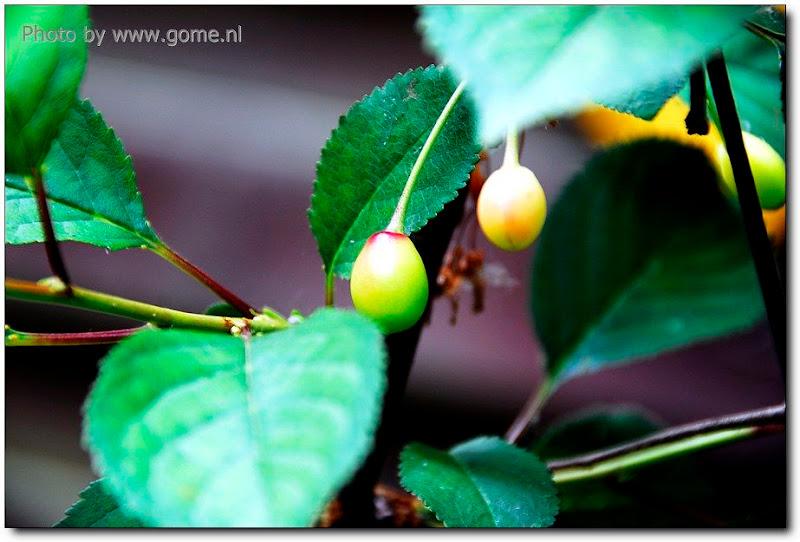 春暖花开,果子是这样长成的!(影像记录,每月更新) - 欧洲碎片-史唯平 - 欧洲碎片-史唯平的博客