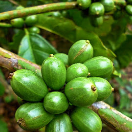 coffee robusta  by Razone Wane - Nature Up Close Gardens & Produce