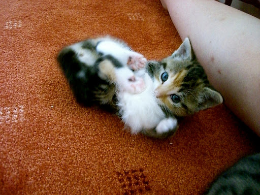 cute rescued kitten playing with a toy mouse
