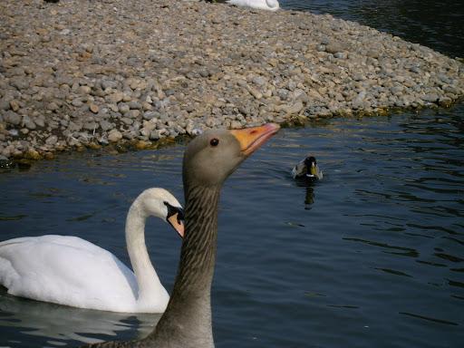 greylag goose call