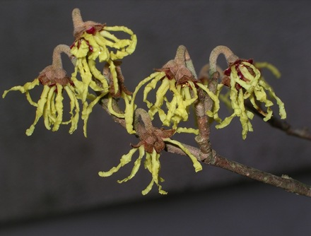 Hamamelis flowers