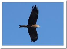 http://oiseauxenphotos.e-monsite.com/rubrique,milan-noir,1371645.html