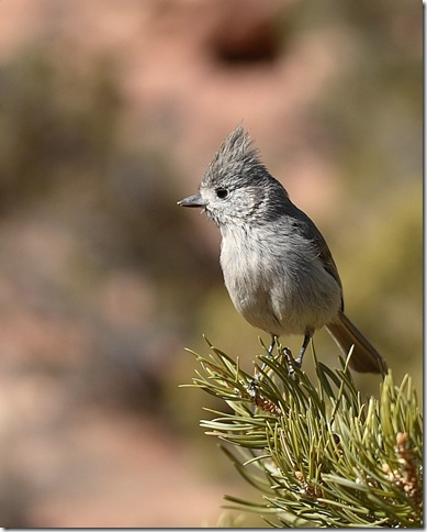 Juniper_Titmouse2