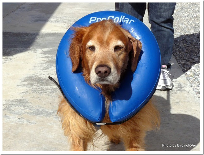 Dog Collar Vet Keeps Coming Undone