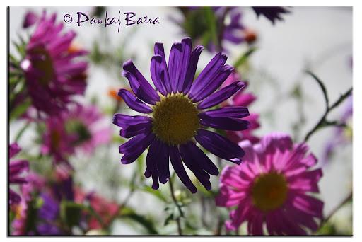 Electric Purple © Pankaj Batra