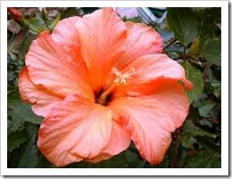 flores-hibisco_929_1