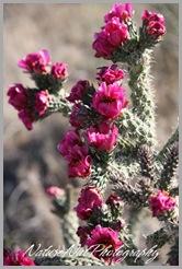 Cholla Cactus 2