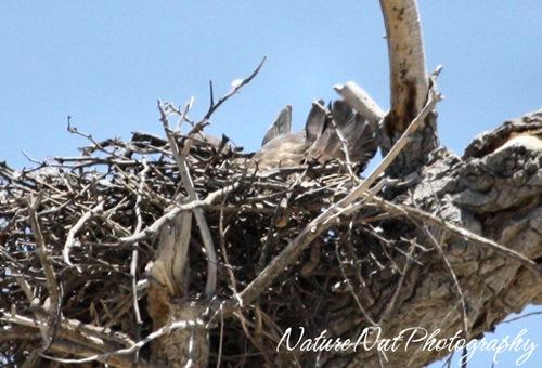 Hawk Nest5
