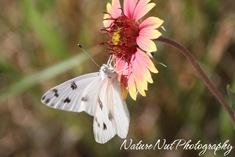 Western White Butterfly2
