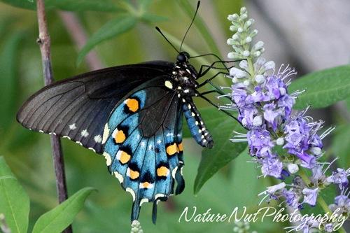 Pipvine Swallowtail